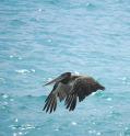 Pelicano, Punta de Choros
